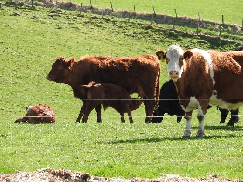 Cows near Clava Cairns