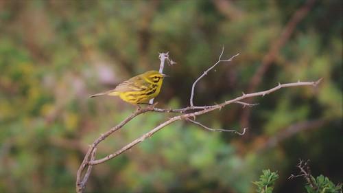 Prairie warbler, Watnong Mountain, Morris Plains NJ