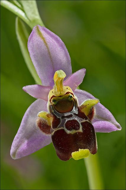 Ophrys-kvarneri_40