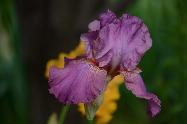 Iris rose barbe orange - Lilou [identification en cours] 41233162765_0c42603b96_z