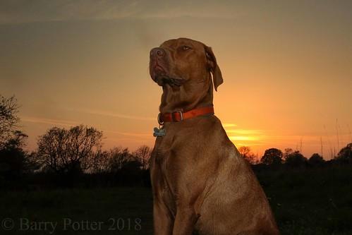 barrypotter edenmedia canoneosm5 bracken dog sunset