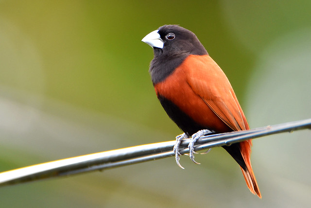 A Chestnut Munia (Lonchura atricapilla) on our internet cable