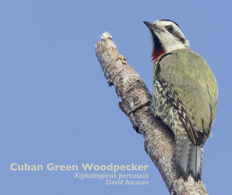 Cuban Green Woodpecker, Xiphidiopicus percussus_199A3473
