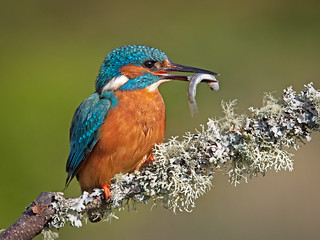 Kingfisher with Fish 3 | by Richard Towell