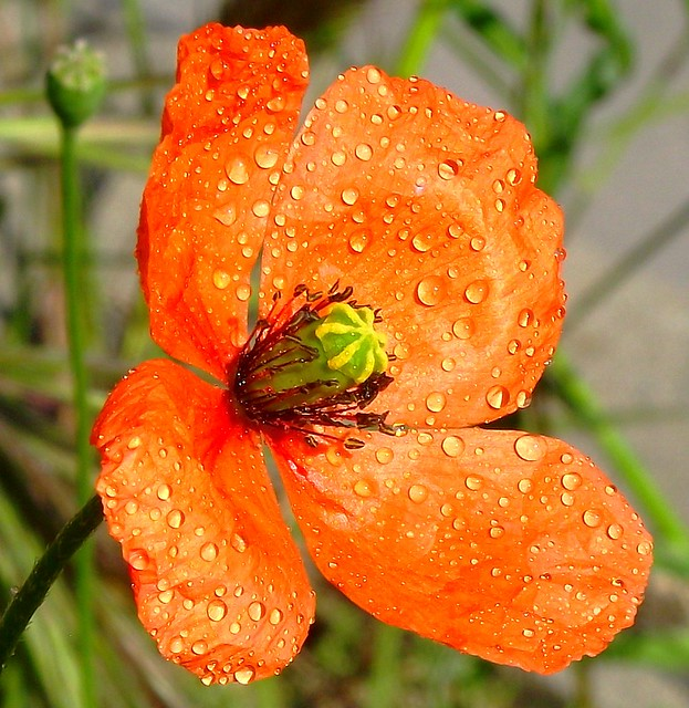 PERPIGNAN PAVOT FLOWER
