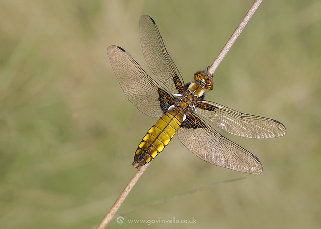 Broad-bodied Chaser 14th May