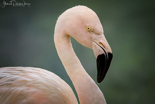Phoenicopterus chilensis | by Gabriel Paladino Photography