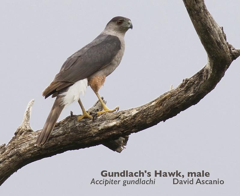 Gundlach's Hawk, Accipiter gundlachi_199A3688