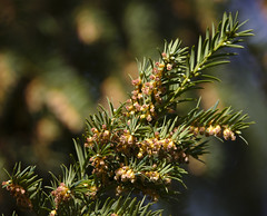 Taxus baccatus withering male flowers