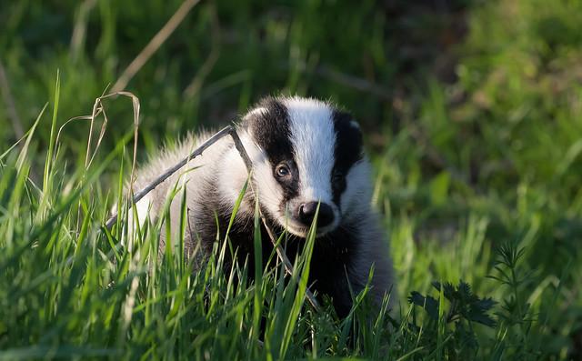 Badger Cub Emerging