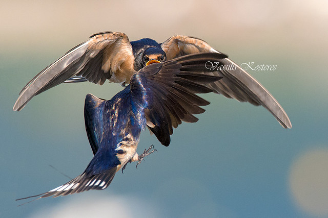 Hirundo rustica, Σταβλοχελίδονo, Barn swallow
