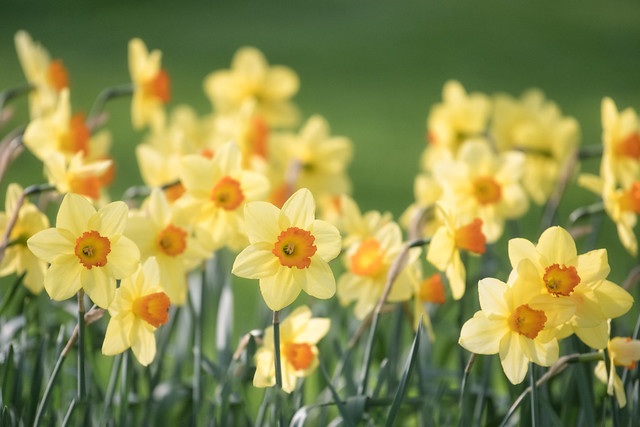 Keukenhof Daffodils