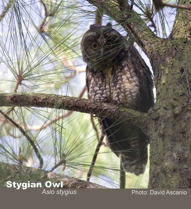 Stygian Owl, Asio stygius_199A6063