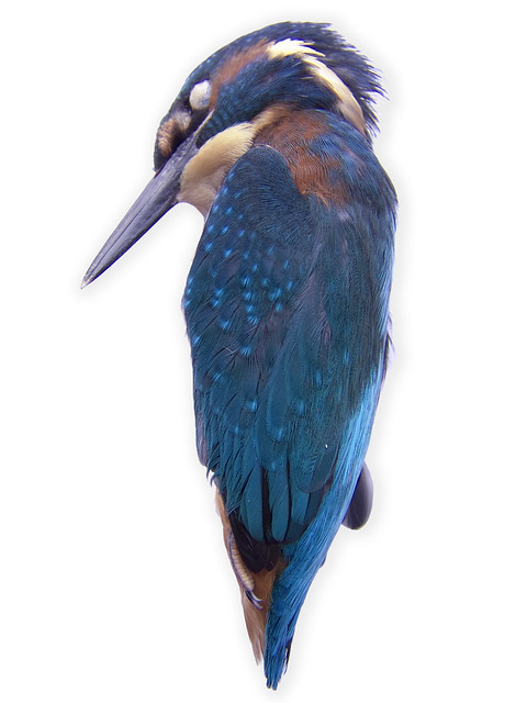 Dead Kingfisher - Holland | It smashed into a window of the