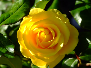 Yellow rose Holland Park | by Gaetan Lee