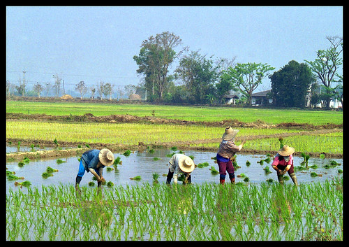 Working the Rice Paddies | by Richard Pluck