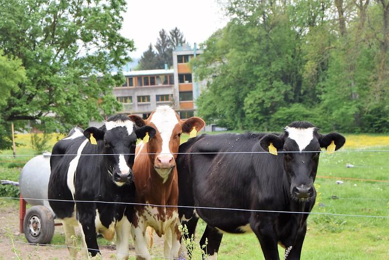 Cows 02.05 (7)