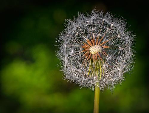 2018 may kevinpovenz westmichigan michigan jenison ottawa ottawacounty ottawacountyparks hagerpark dandelion flower wildflower canon7dmarkii nature closeup topaz macro