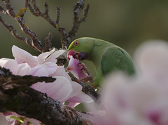 Rose-ringed parakeet eating Magnolia