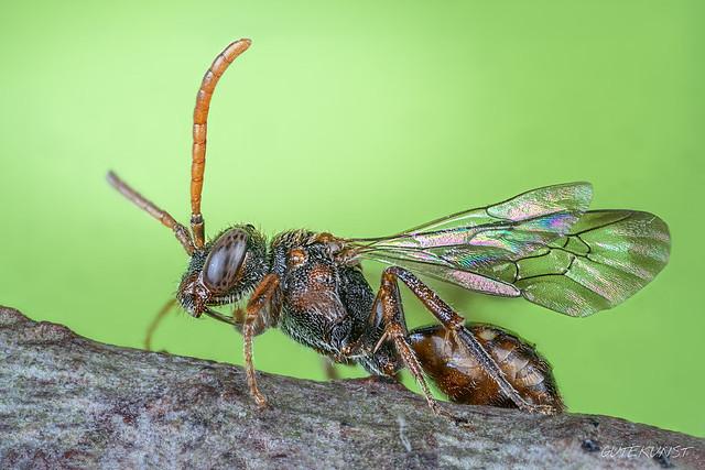 Di, 2018-04-17 23:59 - Hier seht ihr eine sehr interessante Wildbiene. Es handelt sich um eine sog. Wespenbiene, diese kleinen (3-4 mm) Bienen zählen zu den Kuckucksbienen d.h. sie legen ihre Eier in die Nester anderer Wildbienen. Focus Stack.