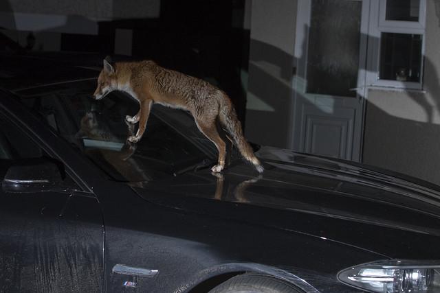 Urban Fox, Bristol