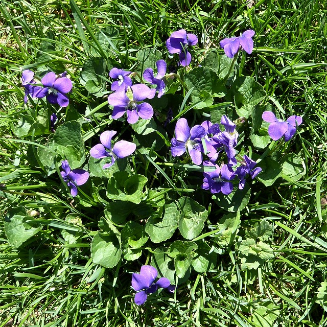 Wheaton, IL, Herrick Lake Forest Preserve, Wild Violets in the Grass