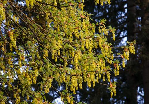 bigleafmaple acermacrophyllum mapletree oregonmaple nature tree oregon rainieroregon flowers wildflowers