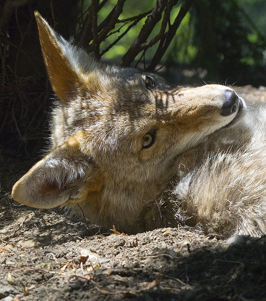 Akron Zoo 06-06-2014 - Coyote 31