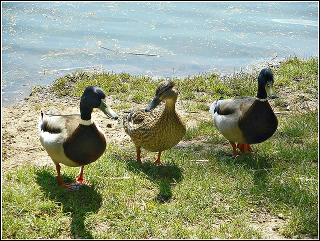 Three Inquisitive Ducks ..