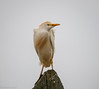 Cattle Egret by mathurinmalby