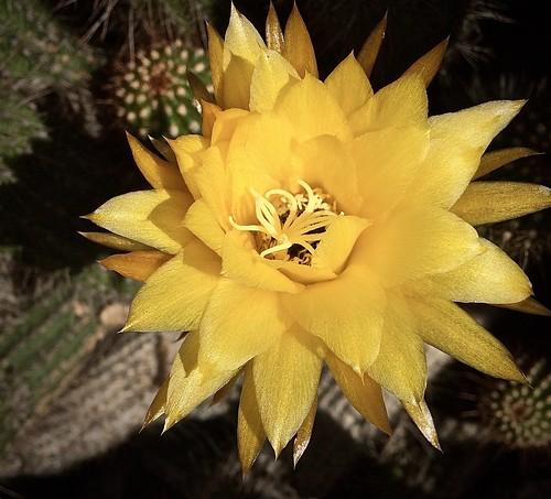 Yellow Hedgehog Echinopsis flower