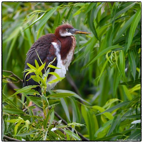 brandon florida raphaelkopanphotography d500 nikkor600f4evr 14xtciii wildlife