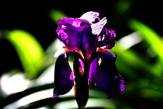 Bearded Iris 'Diabolique'