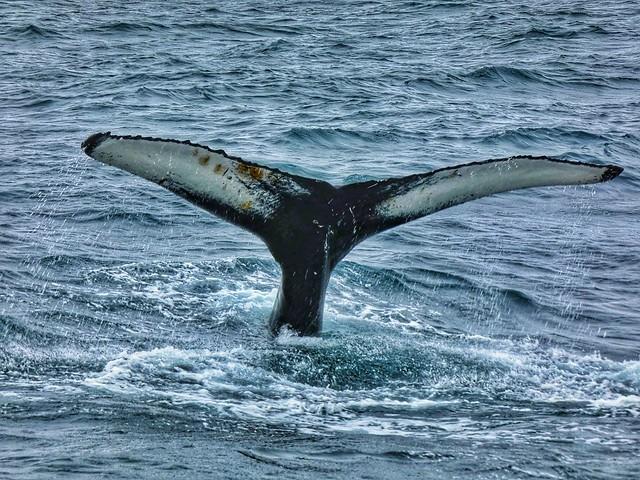 Cola de ballena en Islandia