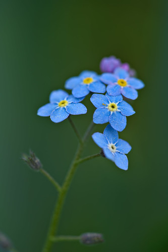Forget-Me-Not | by pstenzel71