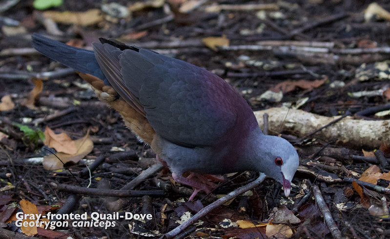 Gray-fronted Quail-Dove, Geotrygon caniceps_199A4874