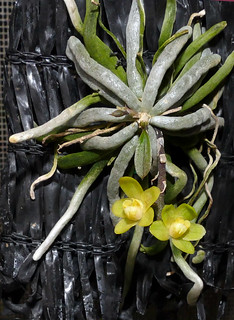 A Leafless Orchid Chiloschista Usneoides Species Orchid Flickr