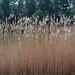 Reeds_P4030484