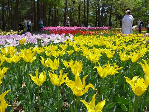 チューリップの花咲く国営ひたち海浜公園