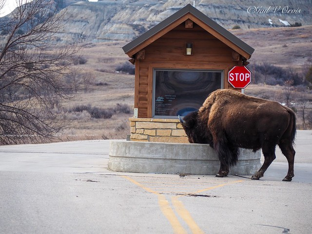 I wonder if we will see any Bison at the park...