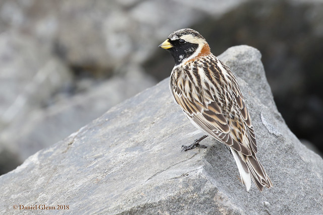 Lapland Longspur (breeding male)