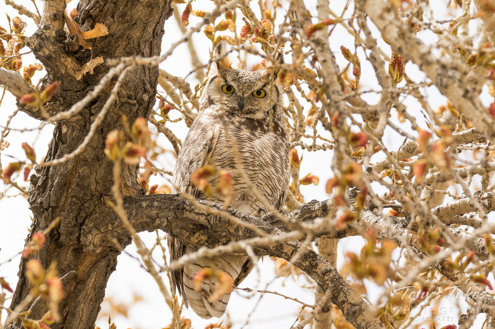 A female Great Horned Owl keeps close watch from her perch in Thornton, Colorado.  (© Tony's Takes)