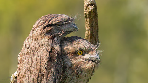 Tawny frogmouths-1 | by Evelakes67