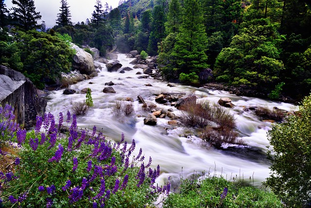 The Merced River Flows on By... (Yosemite National Park)