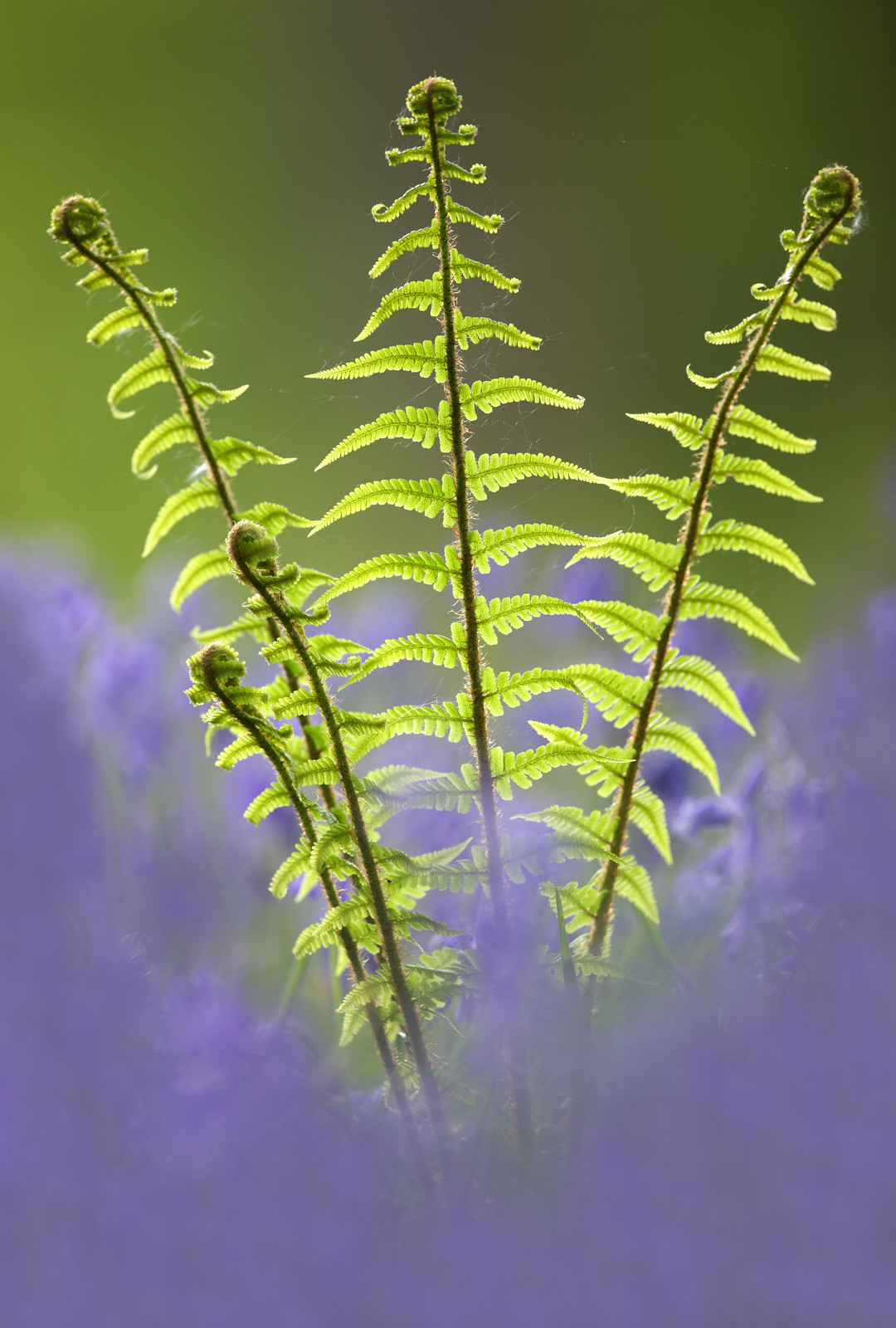 Uncoiling ferns and bluebells