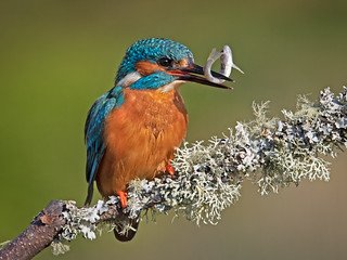 Kingfisher with Fish 5 | by Richard Towell