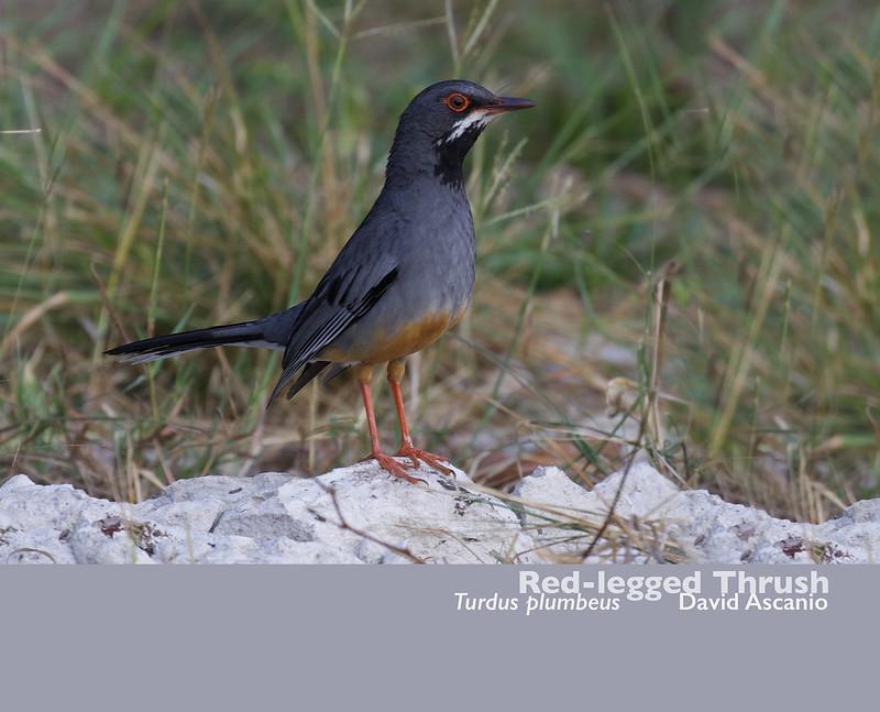 Red-legged Thrush, Turdus plumbeus_199A4121