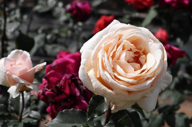 Rose Garden in Ikuta