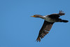 Double-crested Cormorant by mathurinmalby