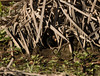 Sora ( Porzana carolina ) chick at nest opening by GH Rancher